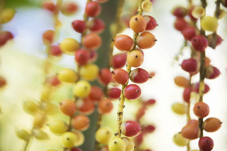 Rote und orange Frucht an Streben hängend im Lanka Princess