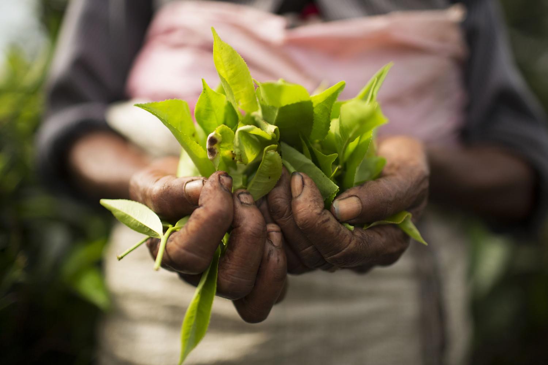Lanka Princess Teeplantage Sri Lanka